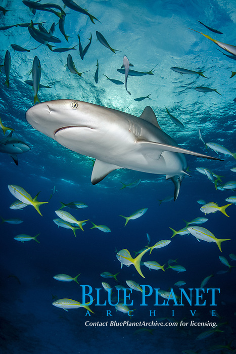 Caribbean Reef Shark, Carcharhinus perezi. Tiger Beach, Little Bahama Bank, Bahamas.