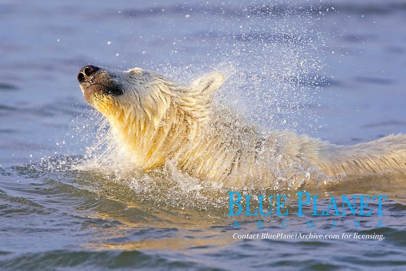 polar bear cub, Ursus maritimus, swimming, shaking its head of water, Arctic National Wildlife Refuge, Alaska, Arctic Ocean, polar bear, Ursus maritimus