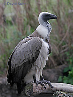 0216-08pp  African White-backed Vulture, Gyps africanus © David Kuhn/Dwight Kuhn Photography