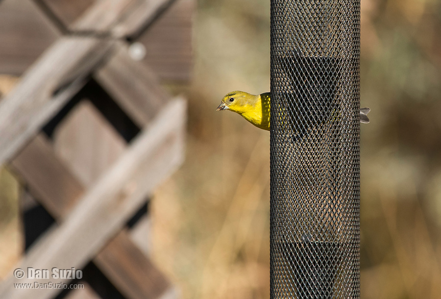 Lesser Goldfinch, Carduelis psaltria, perches on a feeder in Sacramento National Wildlife Refuge, California