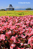 0904-0815  Pink Begonia Flower Bed, Begoniaceae spp. © David Kuhn/Dwight Kuhn Photography.