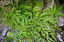 Maiden-hair Spleenwort {Asplenium trichomanus} growing on limestone cliff. Lathkill Dale, Peak District National Park, Derbyshire, UK. June.