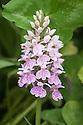 Dactylorhiza majalis (syn. Dactylorchis majalis). Common names include: Western marsh orchid, Broad-leaved marsh orchid, Fan orchid, Common marsh orchid, Irish marsh orchid.