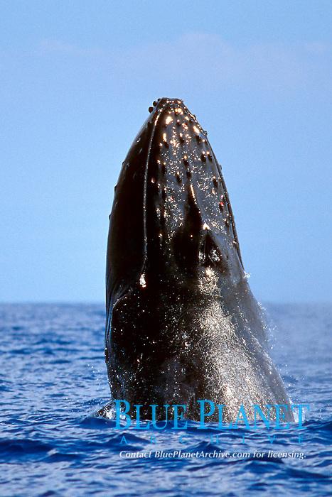 humpback whale, chin slap in competitive group, Megaptera novaeangliae, Hawaii, Pacific Ocean