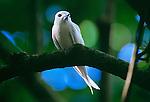 White tern, Vava'u, Tonga