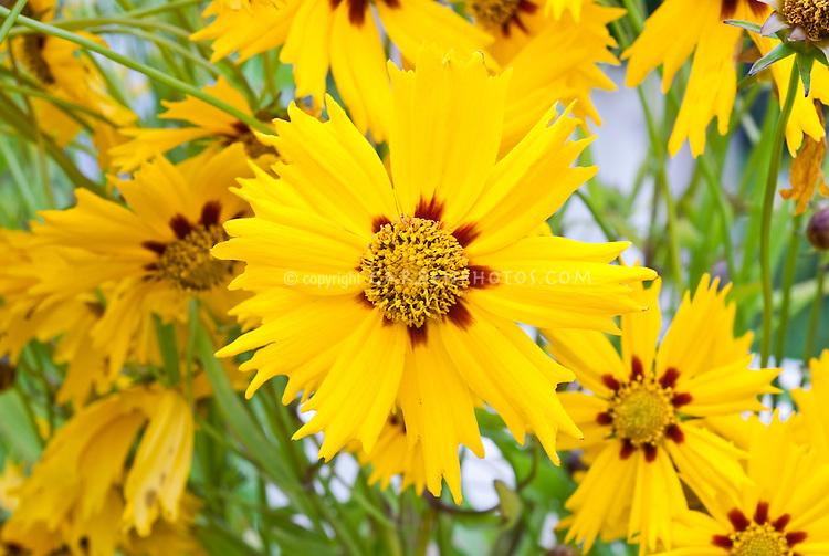 Yellow flowers of tickseed Coreopsis 'Astolat'