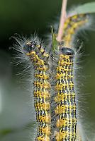 Wapendrager (Phalera bucephala) rupsen
