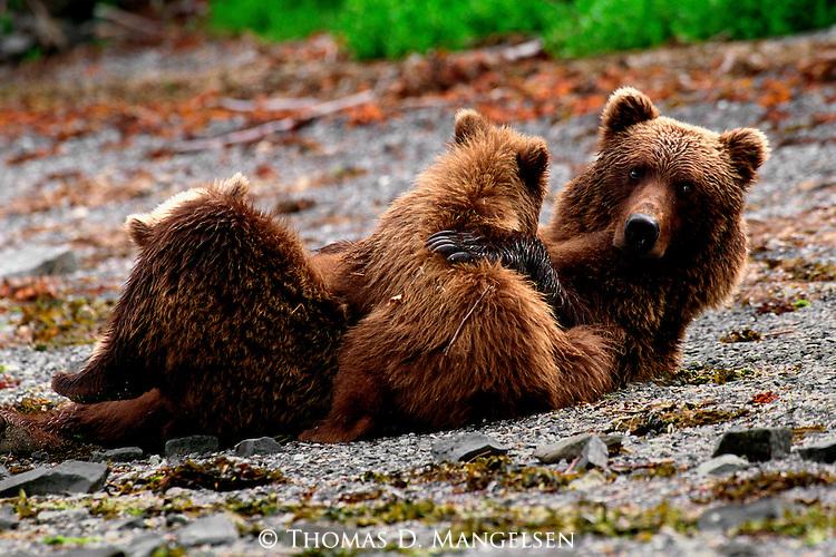 A brown bear nurses her cubs on the beach on the Alaskan Peninsula.