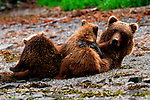 A brown bear nurses her cubs on the beach on the Alaskan Peninsula.