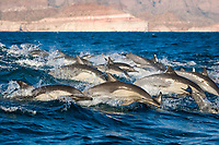 Common dolphins (delphinus delphis.Common dolphin in a choppy sea along the Baja coast. Gulf of California.