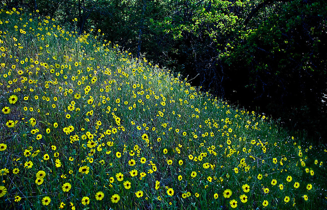 WILD DAISYS GROW ALONG THE SLOPE OF A HILLSIDE IN SEQUOIA NATIONAL PARK, CALIFORNIA