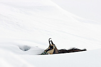 Chamois buck laying in the snow
