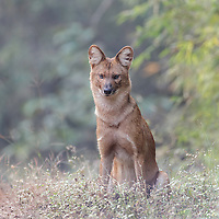 Canis aureus<br /> <br /> The golden jackal sometimes known as the Bengal jackal is found in the Indian sub continent.