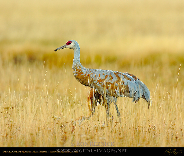 Sandhill Crane and Juvenile in Fall Plumage, Yellowstone National Park, Wyoming