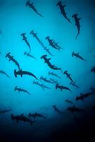Scalloped Hammerhead Sharks, Sphyrna lewini, schooling, Cocos Island, Costa Rica, Pacific Ocean