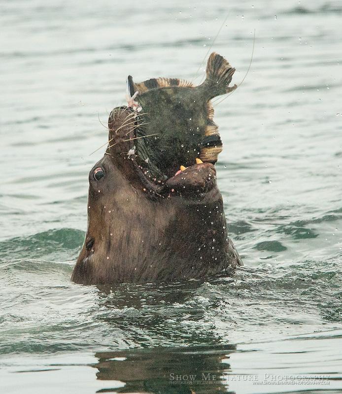 Steller Sea Lion with Halibut