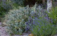 Senecio grayii (Daisy Bush) gray foliage shrub and Lavandula angustifolia 'Hidcote' (Hidcote Lavender) in Shelagh Tucker gravel front yard garden, Seattle, Washington