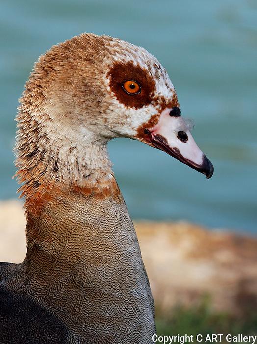 Goose with orange eyes, Irvine CA.