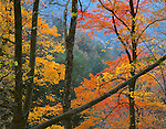Great Smoky Mountains National Park, TN/NC<br /> Maple branches with yellow and gold autumn colors contrast with blue haze of the Smoky Mountains