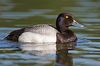 Lesser Scaup swimming on a pond on a sunny morning
