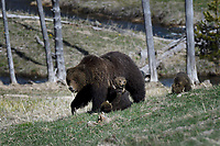 Grizzly Mom with Cubs, Yellowstone