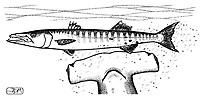 great hammerhead, Sphyrna mokarran, attacking great barracuda, Sphyraena barracuda, pen and ink illustration