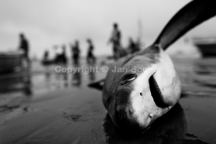 A dead thresher shark lies on the beach of Puerto Lopez, Ecuador, 6 April 2012. Every morning, hundreds of shark bodies and thousands of shark fins are sold on the Pacific coast of Ecuador. Although the targeted shark fishing remains illegal, the presidential decree allows free trade of shark fins from accidental by-catch. However, most of the shark species fished in Ecuadorean waters are considered as ?vulnerable to extinction? by the World Conservation Union (IUCN). Although fishing sharks barely sustain the livelihoods of many poor fishermen on Ecuadorean at the end of the shark fins business chain in Hong Kong they are sold as the most expensive seafood item in the world. The shark fins are primarily exported to China where the shark's fin soup is believed to boost sexual potency and increase vitality. Rapid economic growth across Asia in recent years has dramatically increased demand for the shark fins and has put many shark species populations on the road to extinction.