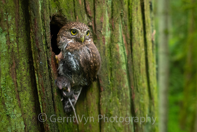Northern Pygmy-Owl (Glaucidium gnoma) delivering a American shrew mole to it's nest deep in its typical mature forest habitat. Multnomah County, Oregon. May.