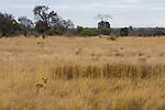 Puku (Kobus vardonii) sub-adult male in savanna, Kafue National Park, Zambia