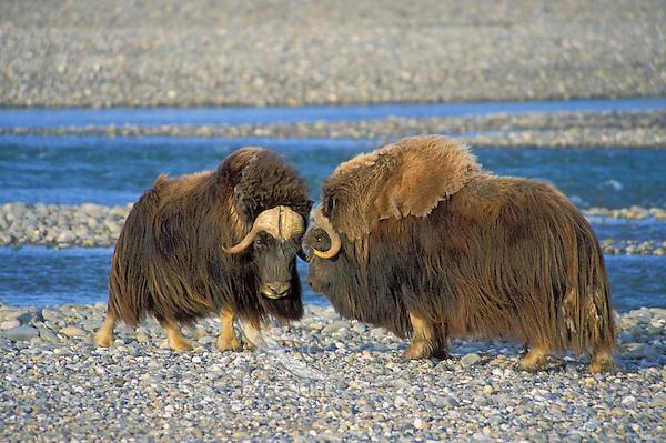 Muskox bulls (Ovibos moscchatus) dominince display. Arctic National Wildlife Refuge, Alaska.<br /> Summer.