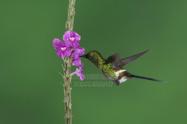 Green Thorntail, Discosura conversii, male in flight feeding on Porterweed(Stachytarpheta), Central Valley, Costa Rica, Central America