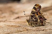 Landkärtchen, Landkärtchenfalter, Landkärtchen-Falter, Frühlingsgeneration, Araschnia levana, map butterfly, Le Carte géographique