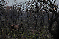 Cattle walk through burnt woodland on a farm in rural Santo Antonio Leverger, in the Pantanal of Mato Grosso.