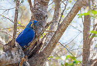 Portrait of Hyacinth Macaw (Anodorhychus hyacinthinus) peeking out over its nest.  There was a nesting pair in Porto Joffre when we switched from bus to boat on our way down to Jaguar country in The Pantanal.