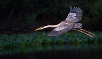 We encountered numerous egret and heron species in both the Amazon and the Pantanal. The Cocoi heron is closely related to Great Blue and Grey herons.