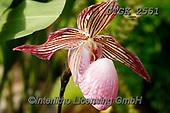 Gisela, FLOWERS, BLUMEN, FLORES, photos+++++,DTGK2551,#f#, EVERYDAY ,orchids