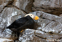 0725-1001  Tufted Puffin with Breeding Plumage, North Pacific Seabird, Fratercula cirrhata  © David Kuhn/Dwight Kuhn Photography