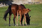 Bob, ANIMALS, REALISTISCHE TIERE, ANIMALES REALISTICOS, horses, photos+++++,GBLA3960,#a#, EVERYDAY