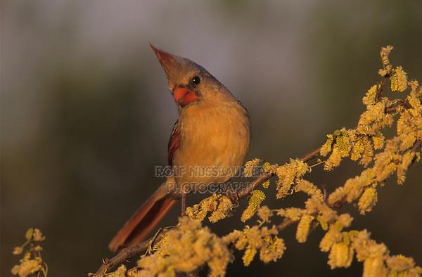 Northern Cardinal, Cardinalis cardinalis,female on blooming Blackbrush Acacia (Acacia rigidula) , Lake Corpus Christi, Texas, USA
