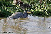 0126-08uu  Tricolored Heron Hunting for Prey with Fish in Beak, Louisiana heron, Egretta tricolor [See Sequence of Images, 0126-08ss, 0126-08tt, 0126-08uu, 0126-08vv]  © David Kuhn/Dwight Kuhn Photography