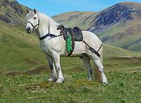 Highland pony with a Glenstrathfarrar stalking saddle, Spittal of Glenshee, Cairngorms National Park, Scotland.
