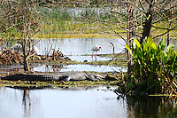 Photographed at Green Cay Wetlands, Boynton Beach, Florida. Fortunately, for the birds, the alligator was not hungry.Alligators can jump 5 feet!