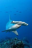 Scalloped Hammerhead Shark (Sphyrna lewini) swimming in open water, Darwin Island, Galapagos archipelago, UNESCO World Heritage Site, Ecuador, South America, Pacific Ocean, South America