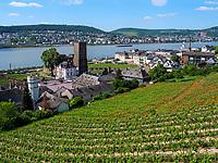 Weinberge bei Rüdesheim, Hessen, Deutschland, Europa<br /> vineyards near Rüdesheim, Hesse, Germany, Europe