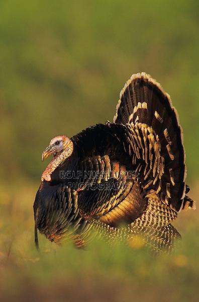 Wild Turkey, Meleagris gallopavo,male displaying, Lake Corpus Christi, Texas, USA, April 2003