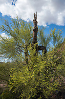 A Paloverde, Cercidium sp., grows around an old Saguaro cactus, Carnegiea gigantea, in Saguaro National Park, Arizona