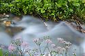 Greater Burnet-saxifrage {Pimpinella major} growing along the bank of a mountain stream. Nordtirol, Austrian Alps. June.