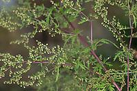 Einjähriger Beifuß, Einjähriger Beifuss, Artemisia annua, Artemisia chamomilla, sweet wormwood, sweet annie, sweet sagewort, annual mugwort, annual wormwood, L'armoise annuelle