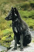 Polarfuchs, Eisfuchs, Polar-Fuchs, Eis-Fuchs, mit dunklem Sommerfell, Alopex lagopus, Arctic fox, Renard polaire, Weißfuchs, Blaufuchs