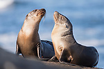 La Jolla, California; a pair of California sea lion pups warming themselves in early morning sunlight, while resting on the rocky shoreline along the Pacific Ocean